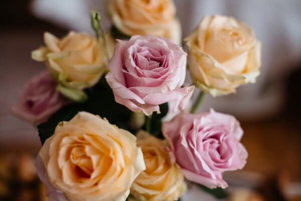 pinkish, roses, bouquet, yellowish brown, close-up, rose, decoration, flower, elegant, leaf
