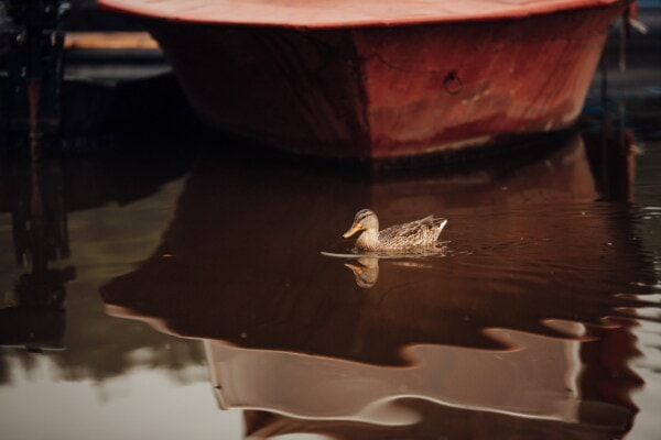 duck, swimming, harbor, boats, water, bird, lake, watercraft, boat, reflection