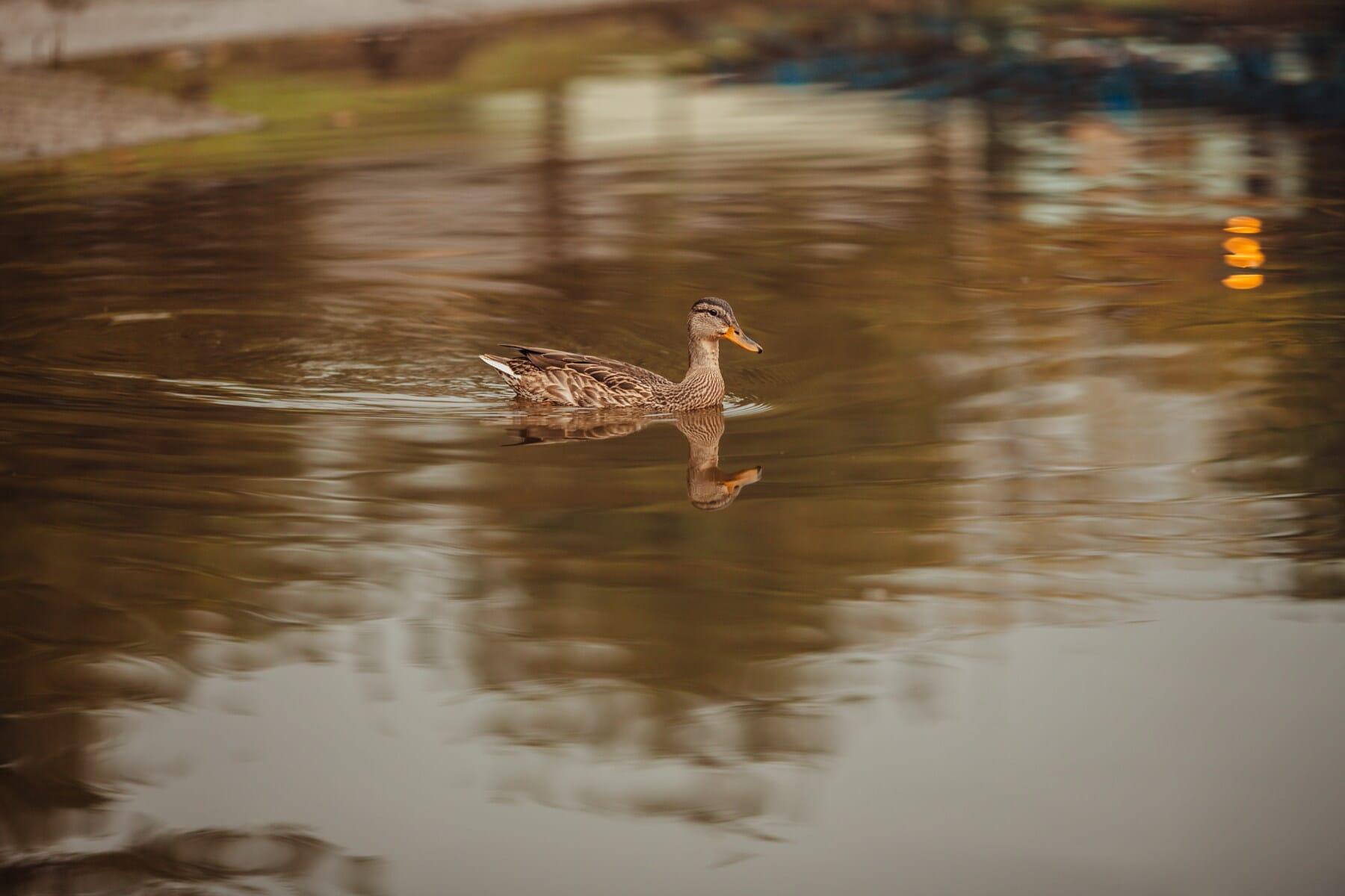 duck, light brown, swimming, wading bird, natural habitat, waterfowl, reflection, bird, water, lake