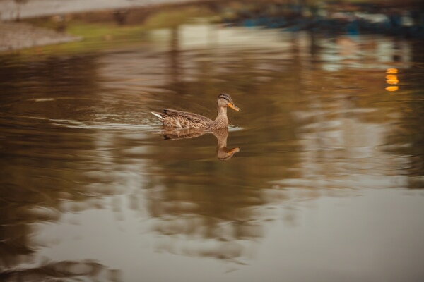 duck, light brown, swimming, wading bird, natural habitat, waterfowl, reflection, bird, water, lake