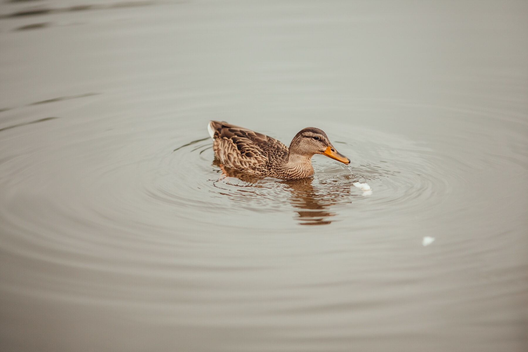 утка, дикая природа, плавание, корма, вода, водные птицы, руководитель, вид сбоку, клюв, утиная птица