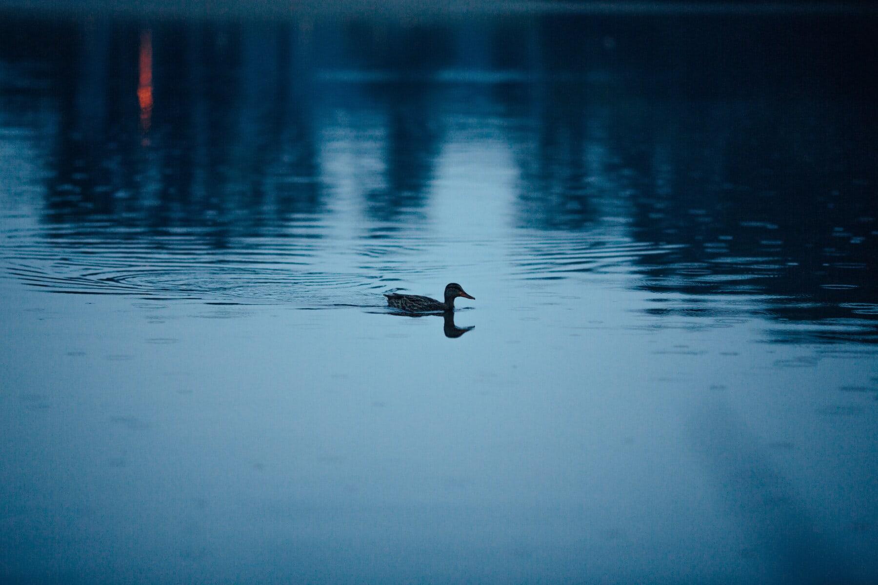 Kaczka, Zmierzch, pływanie, zachód słońca, ciemny, ptaka, odbicie, ptak, Jezioro, wody