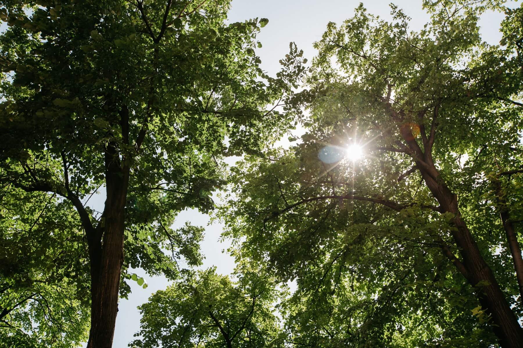 pohon, sinar matahari, cerah, cabang, sinar matahari, hutan, daun, tanaman, pohon, taman