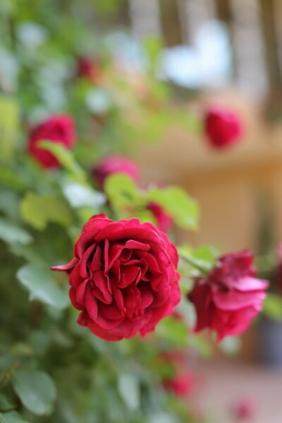 roses, focus, reddish, blurry, flower garden, rose, plant, petal, leaf, blossom