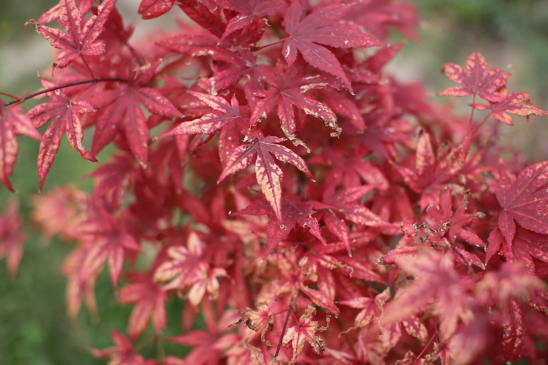 bushes, leaf, branch, red, leaves, flora, nature, maple, garden, tree
