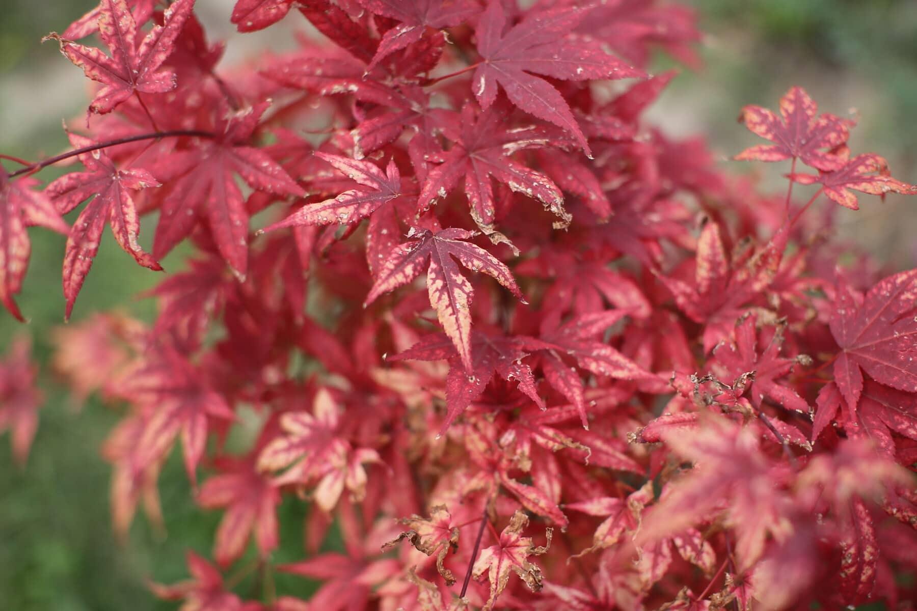 buissons, feuille, branche, rouge, feuilles, flore, nature, érable, jardin, arbre