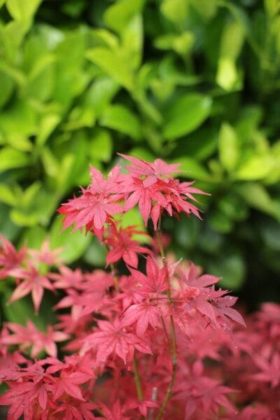 lišće, koji se njiše, crvenkasto, boja, grane, grm, priroda, ljeto, jesen, flora