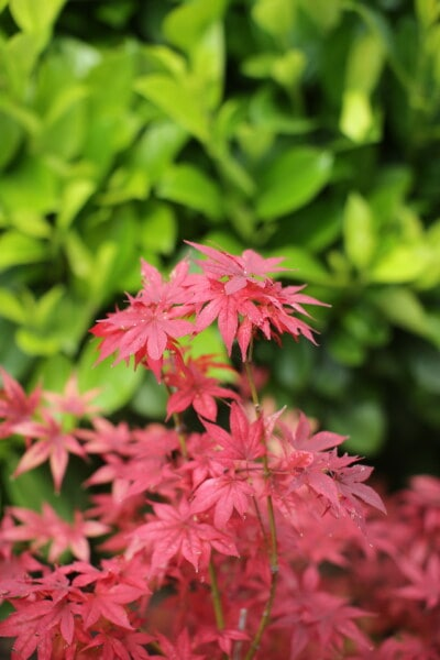 leaves, vibrant, reddish, color, branches, shrub, nature, summer, autumn, flora