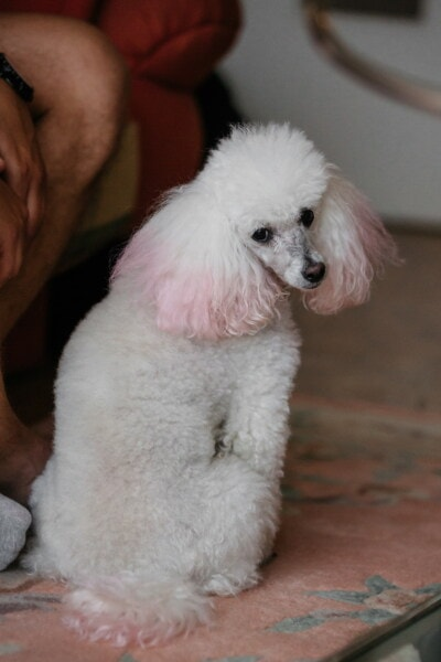 branco, sentado, adorável, cão, orelha, cabelo, rosado, animal de estimação, bonito, filhote de cachorro