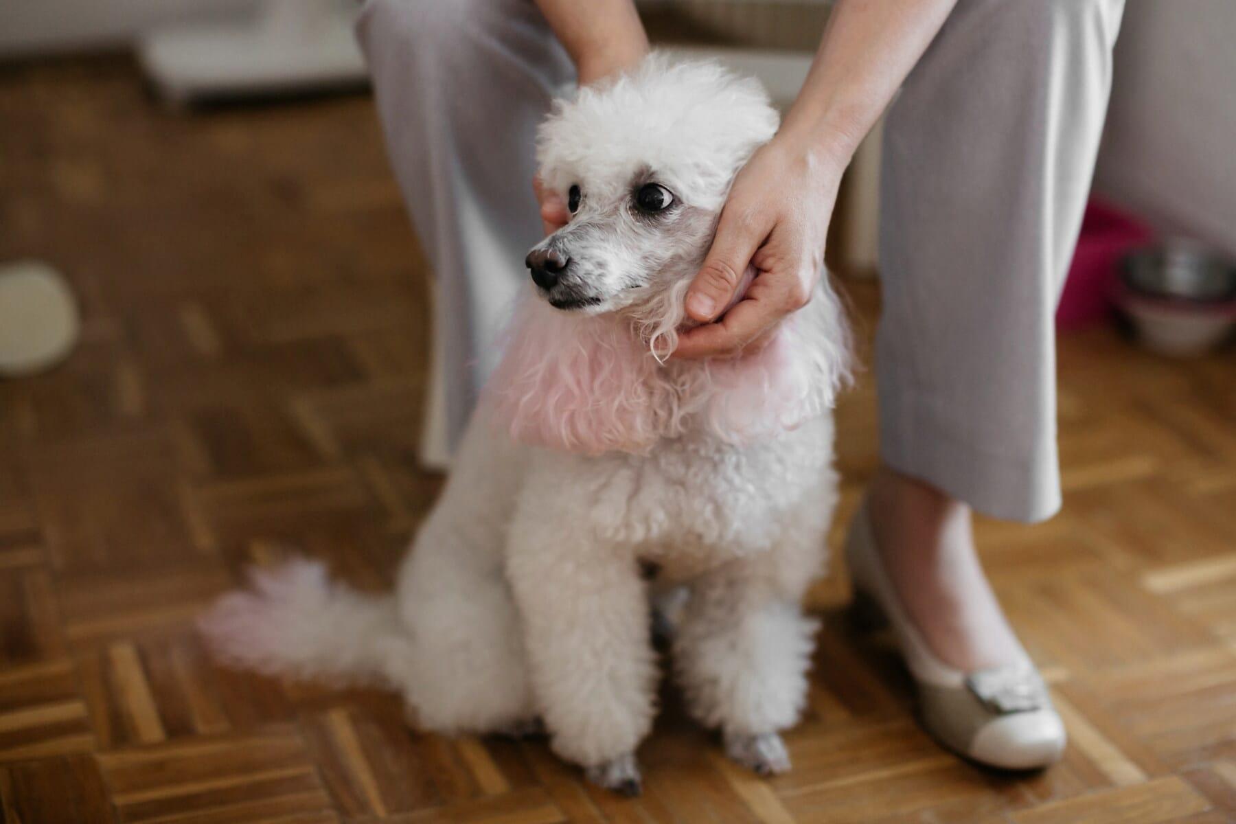 blanc, adorable, de race, animal de compagnie, chien, femme, mains, pedigree, canine, chiot