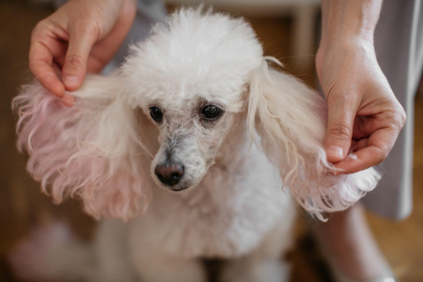 branco, engraçado, cão, cabeça, orelha, olhos, perto, animal de estimação, animal, canino
