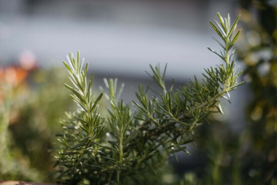 rosemary, branches, fragrance, green, spice, branchlet, green leaves, aromatherapy, green leaf, tree