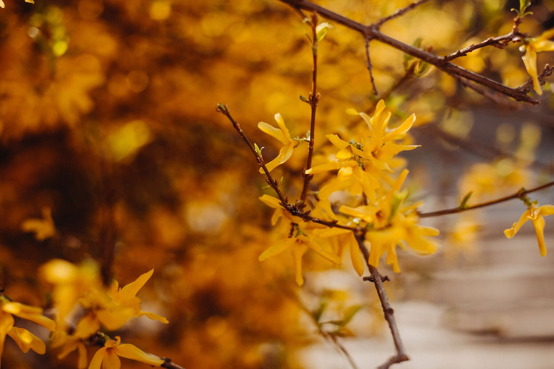 bush, branches, branchlet, yellowish brown, leaves, yellow, flowers, nature, leaf, shrub
