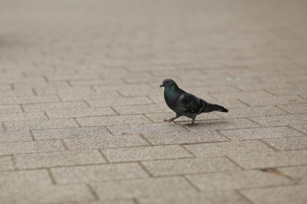pigeon, pavement, walking, animal, wild, bird, feather, wildlife, wing, beak