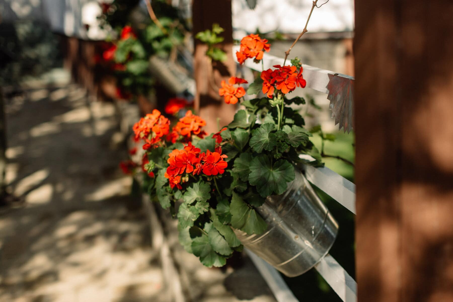 geranium, flowerpot, bucket, metal, vintage, picket fence, flower, plant, nature, leaf