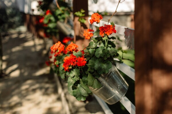 geranium, flowerpot, bucket, metal, vintage, picket fence, flower, plant, nature, leaf