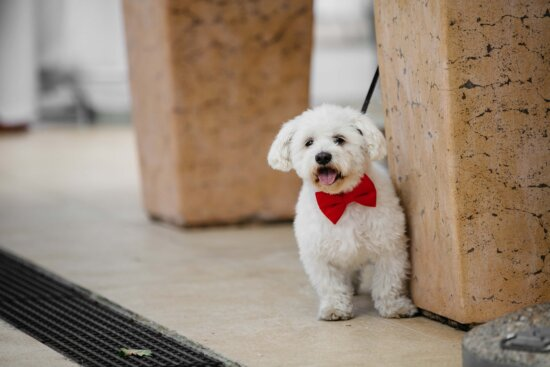 bowtie, red, cute, adorable, dog, portrait, puppy, canine, pet, indoors
