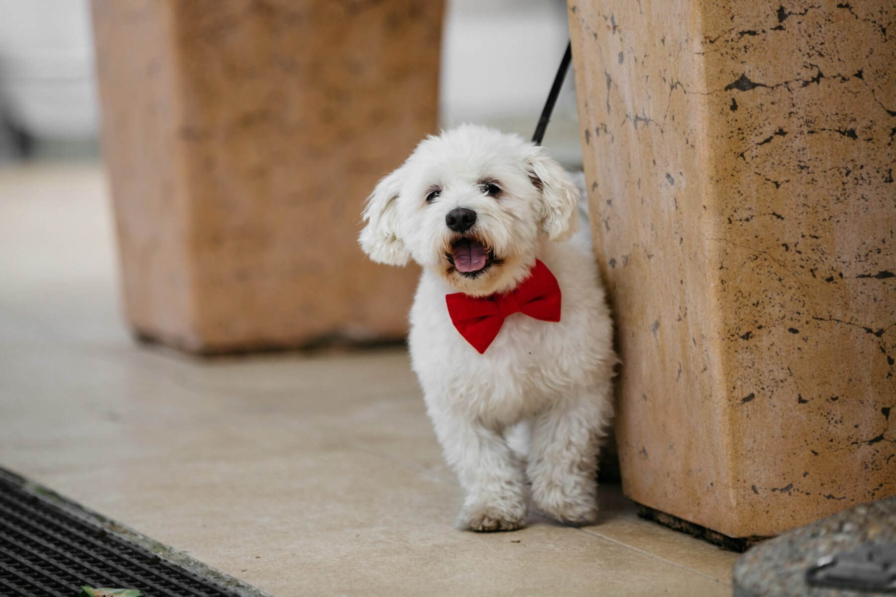 Hund, weiß, Krawatte Schmetterling, rot, Tiere, lustig, niedlich, Welpe, Eckzahn, Haustier