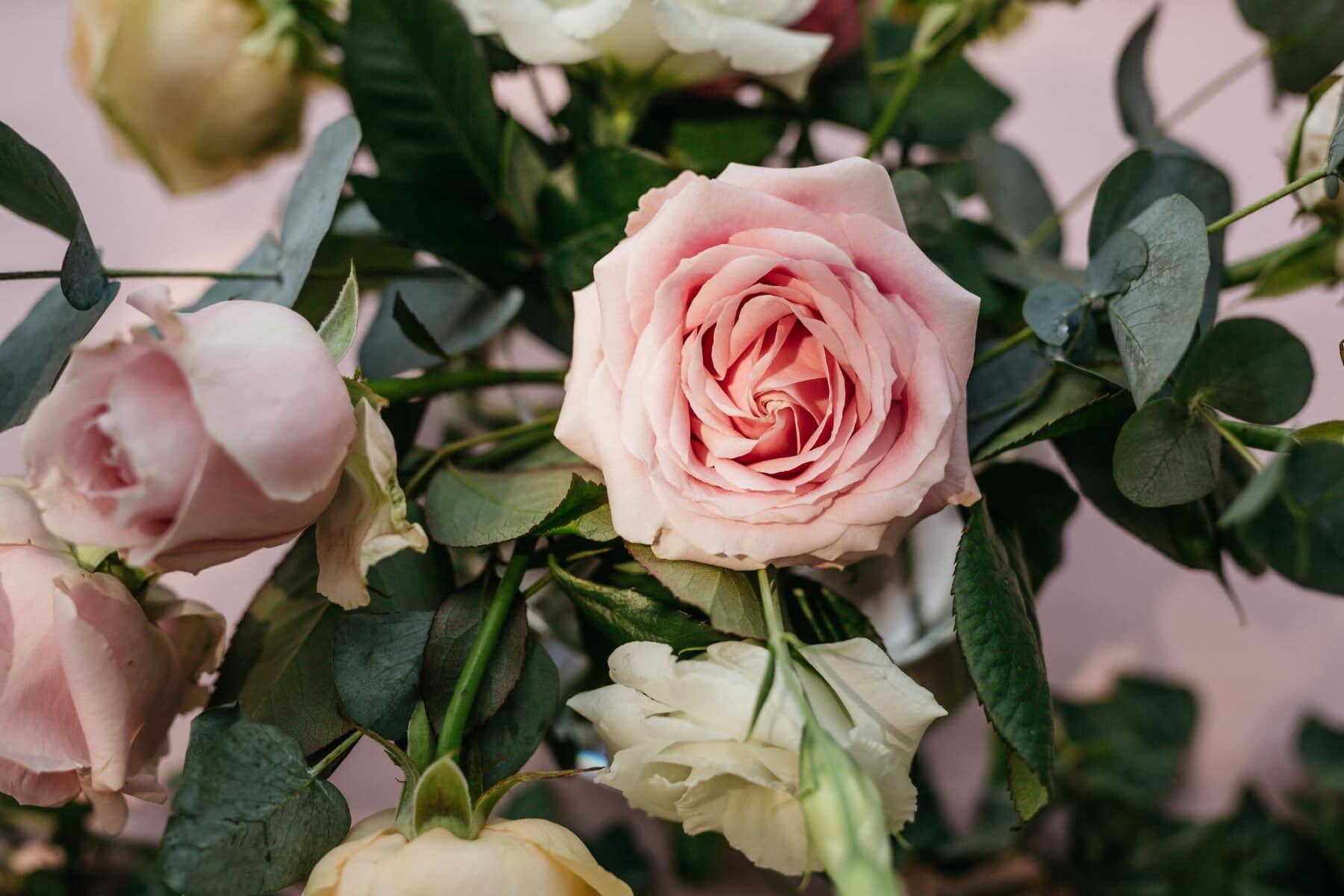roses, pastel, pink, sunlight, close-up, petals, nature, flower, leaf, plant