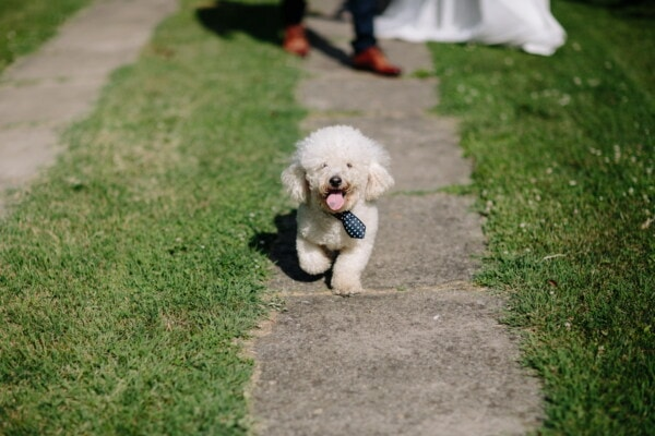 ceremony, wedding, dog, tie, adorable, funny, animal, cute, pet, grass
