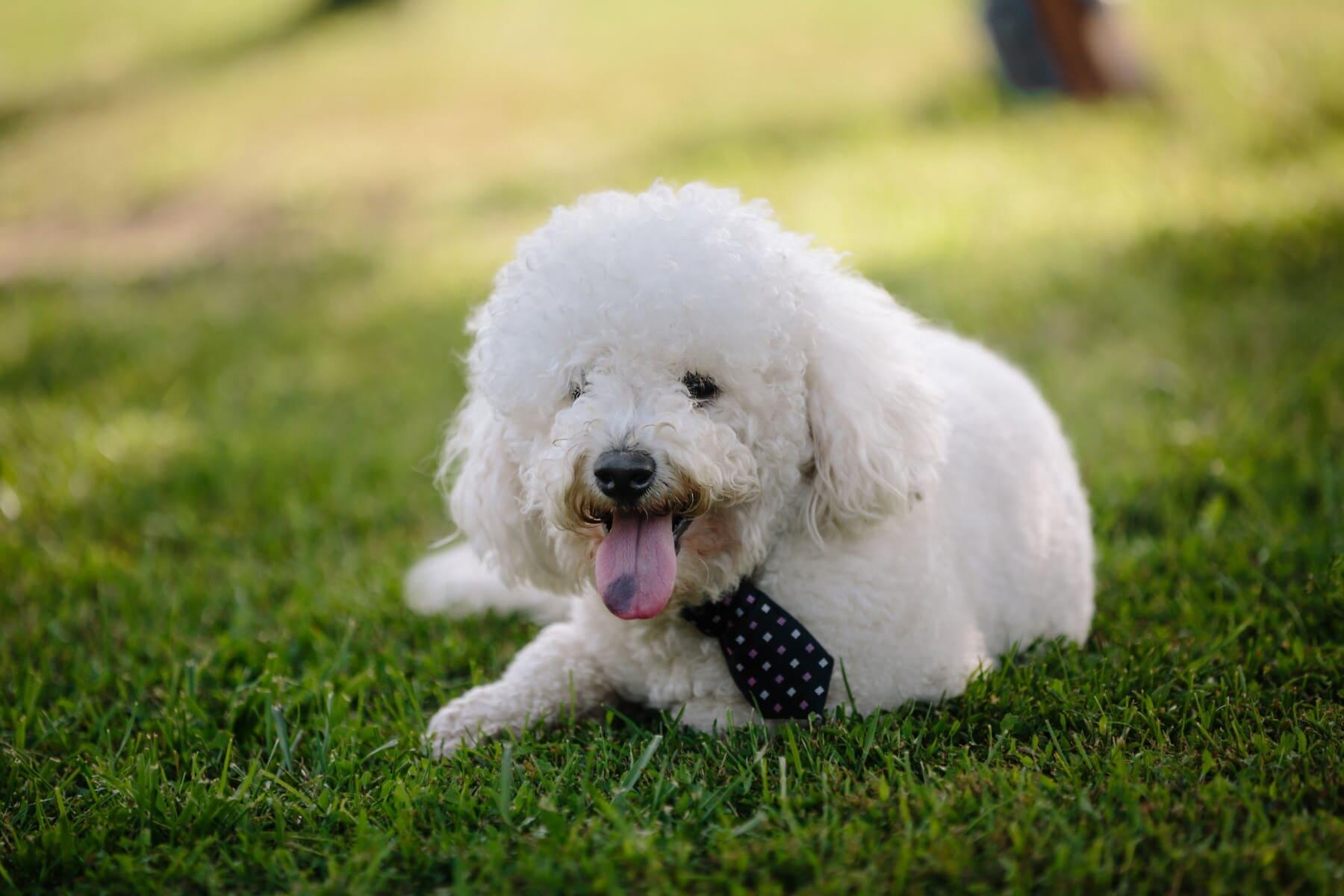 Hund, liebenswert, Kragen, elegant, Krawatte, Lust auf, trendy, Stil, weiß, reinrassig