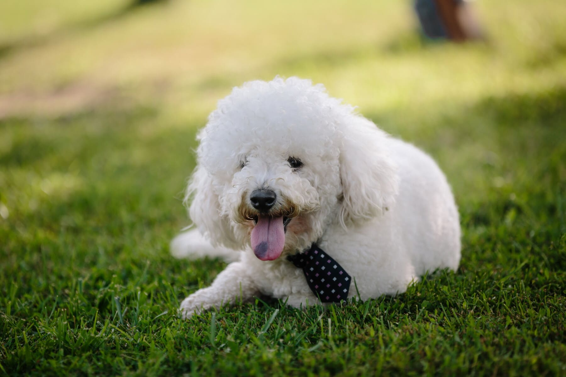 dog, adorable, collar, elegant, tie, fancy, trendy, style, white, purebred