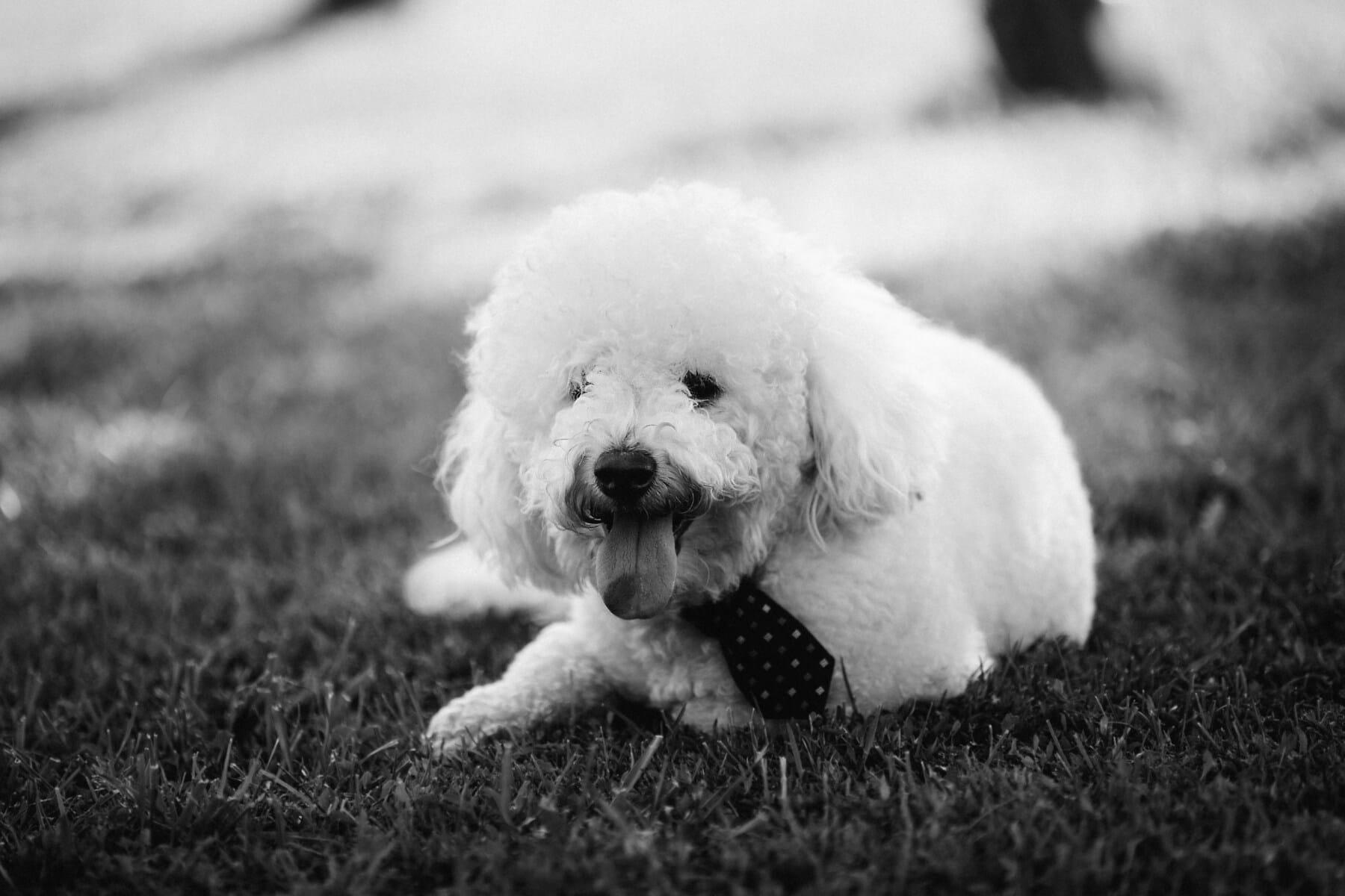 weiß, Hund, Krawatte, liebenswert, Rest, Zunge, Kopf, Welpe, Haustier, niedlich