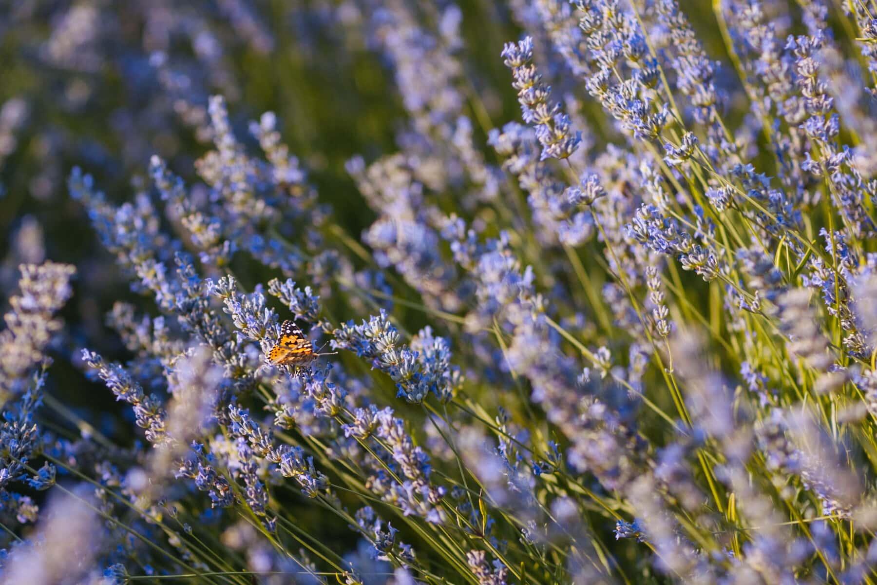 lavande, fleur de papillon, Papilionidae, nature, plante, fleur, flore, domaine, herbe, épanouissement