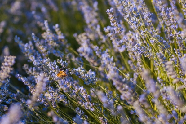 lavender, butterfly flower, butterfly, nature, plant, flower, flora, field, herb, blooming
