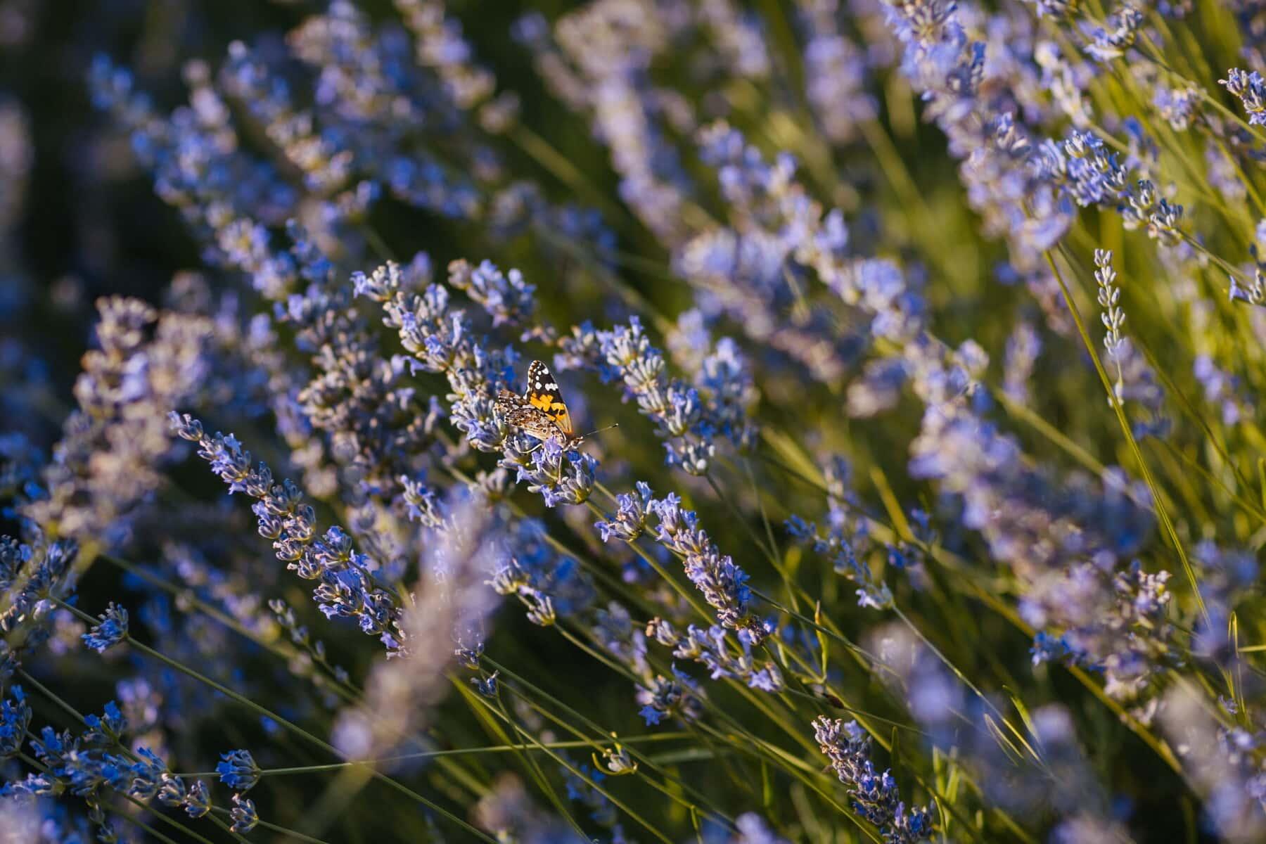 Lavendel, Schmetterling, Feld, Blumengarten, Natur, Blume, Anlage, blühen, Garten, im freien