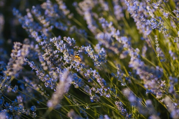 lavender, butterfly, field, flower garden, nature, flower, plant, blooming, garden, outdoors