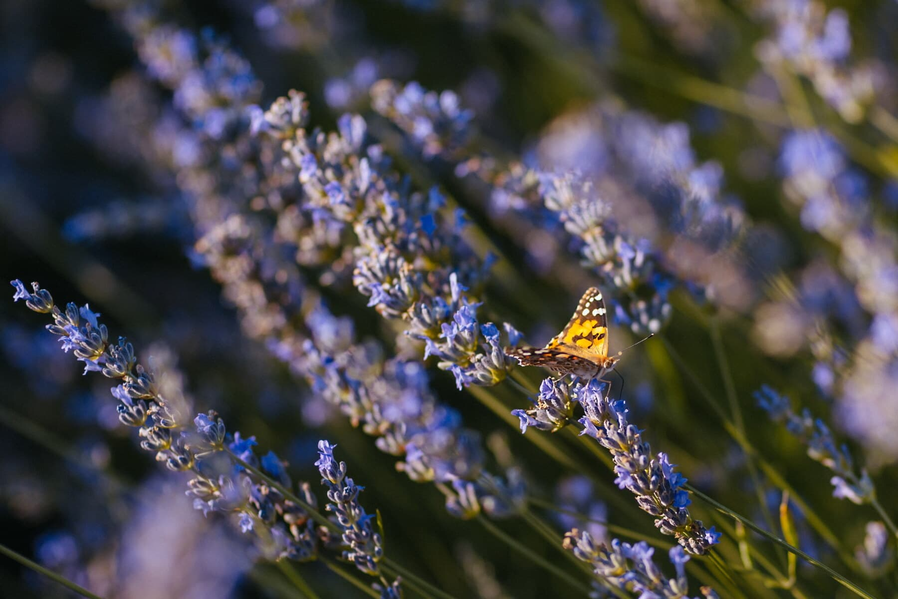 butterfly, light brown, insect, lavender, butterfly flower, garden, nature, flower, outdoors, upclose