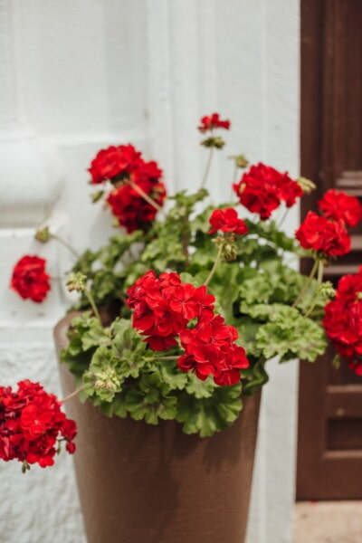 red, geranium, flowerpot, decoration, nature, flower, arrangement, plant, flowers, leaf