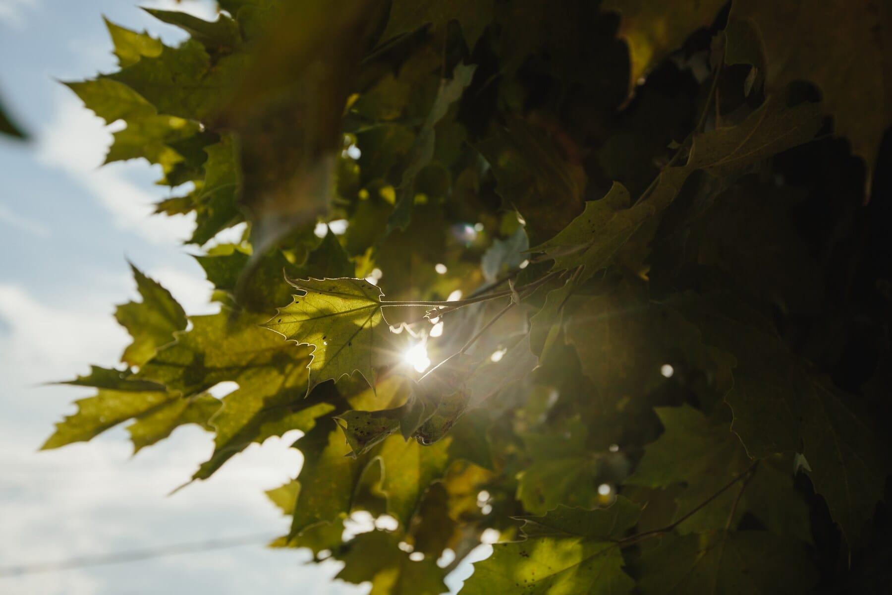lumière du soleil, feuilles vertes, rayons de soleil, feuillage, arbre, plante, érable, feuilles, forêt, feuille