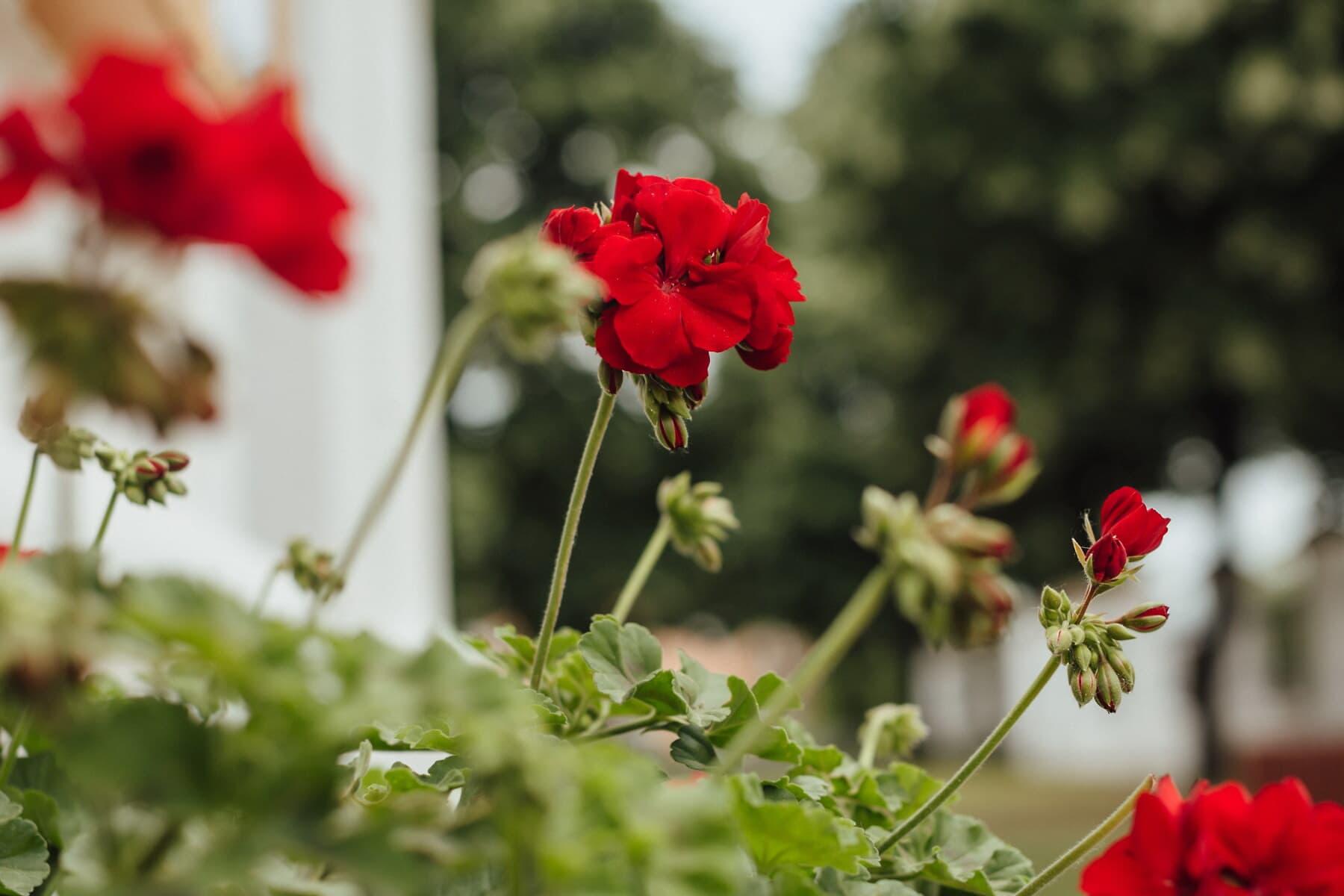 géranium, rougeâtre, horticulture, pot de fleurs, feuilles vertes, fleur, herbe, pétale, plante, flore