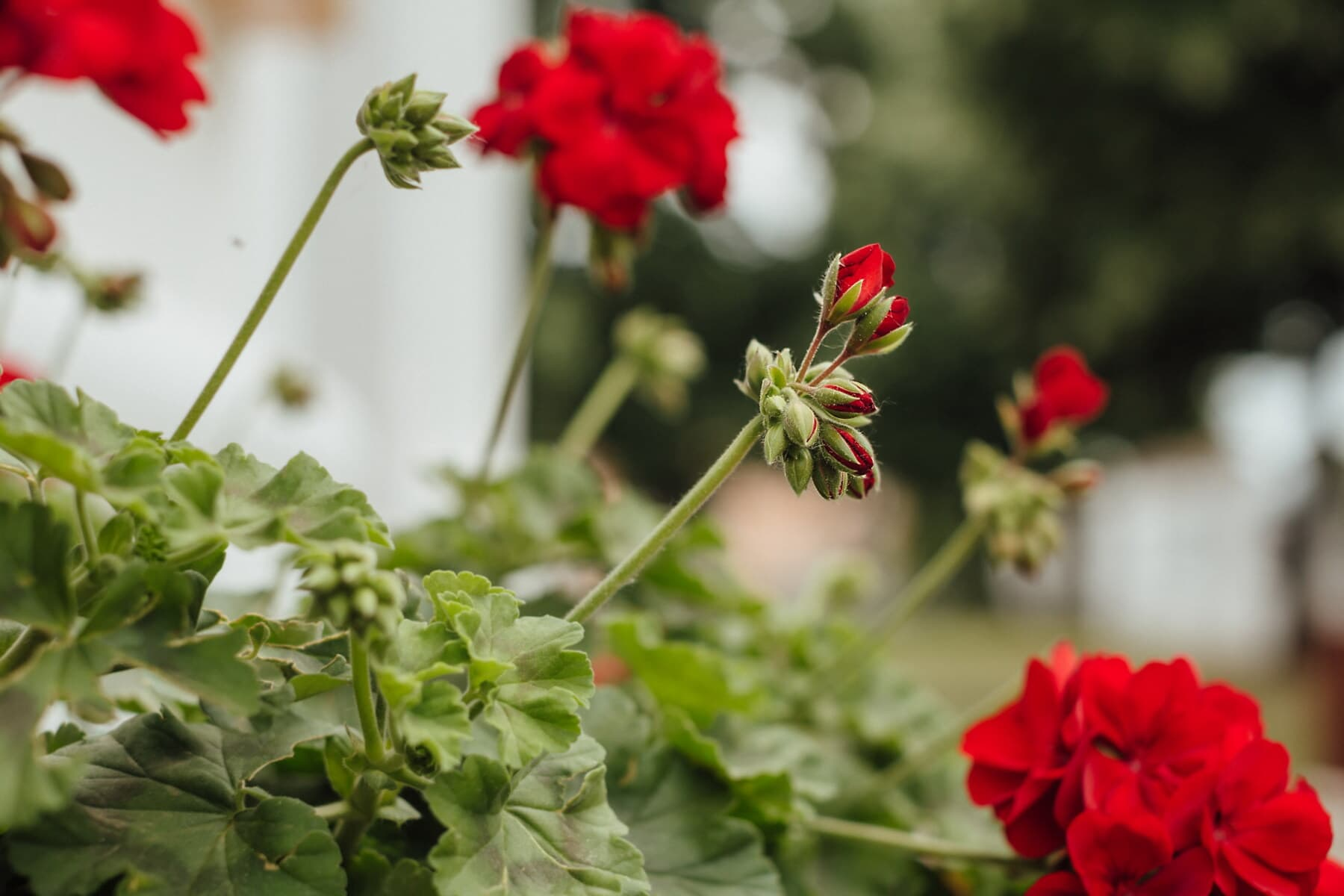 geranium, flowerpot, summer, plant, garden, flower, leaf, blooming, color, beautiful