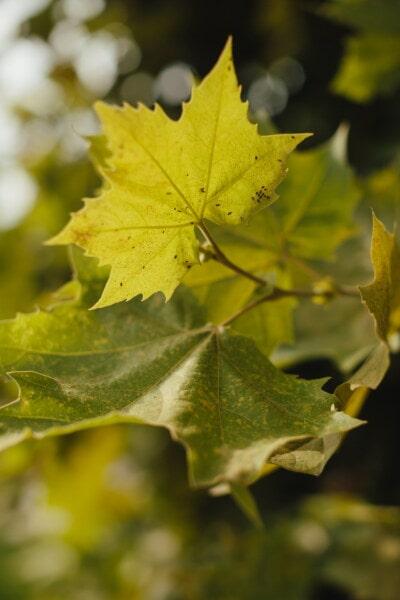 дерево, листва, сезон, природа, лист, осень, клен, лес, завод, листья
