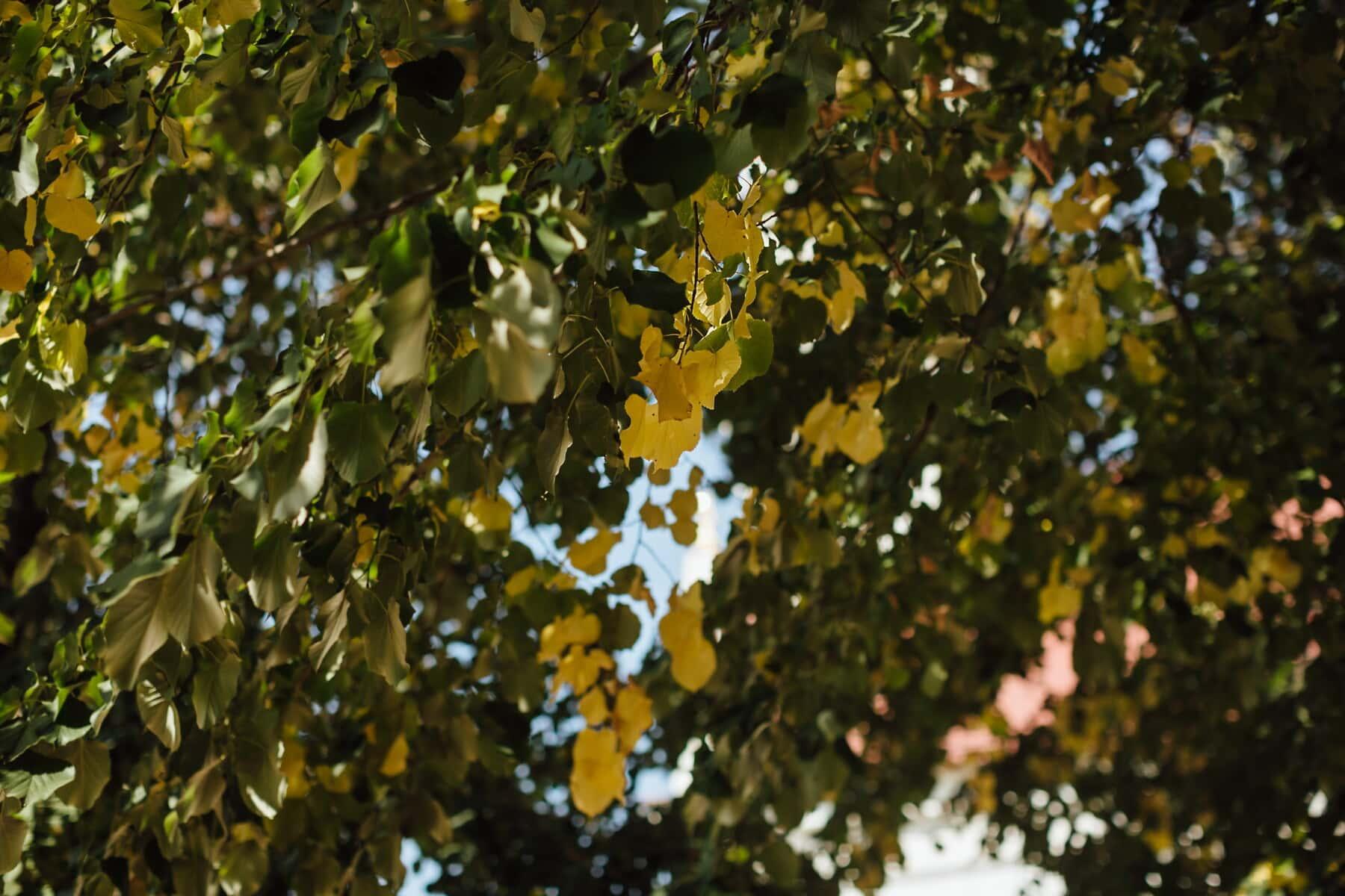 feuilles vertes, arbres, branches, peuplier, beau temps, arbre, plante, feuilles, nature, feuille