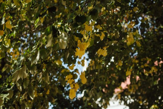 green leaves, trees, branches, poplar, fair weather, tree, plant, leaves, nature, leaf
