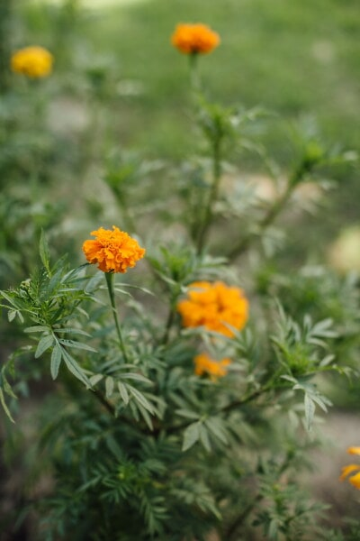 wildflower, orange yellow, flower, herb, blossom, plant, meadow, spring, garden, flora