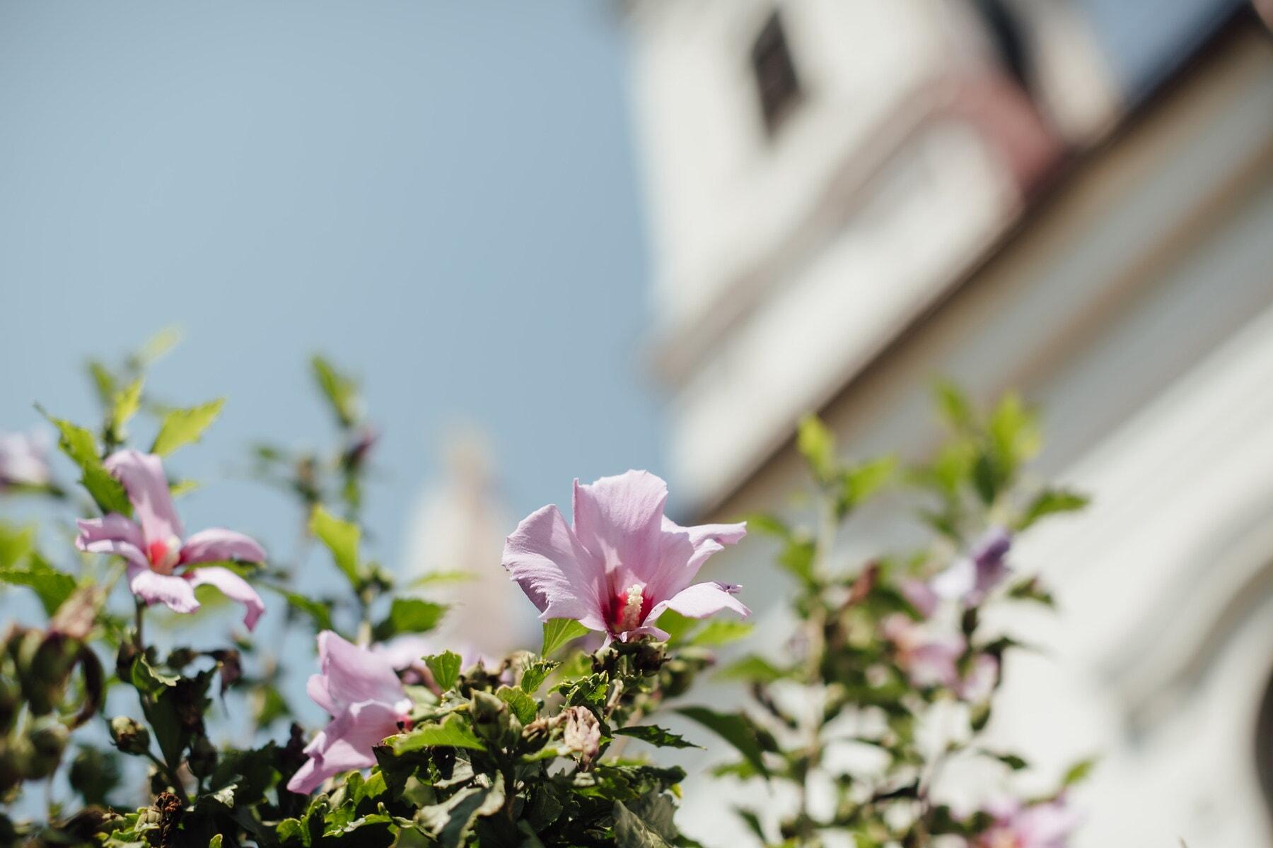 shrub, magnolia, flower, nature, blossom, leaf, garden, flowers, petal, plant