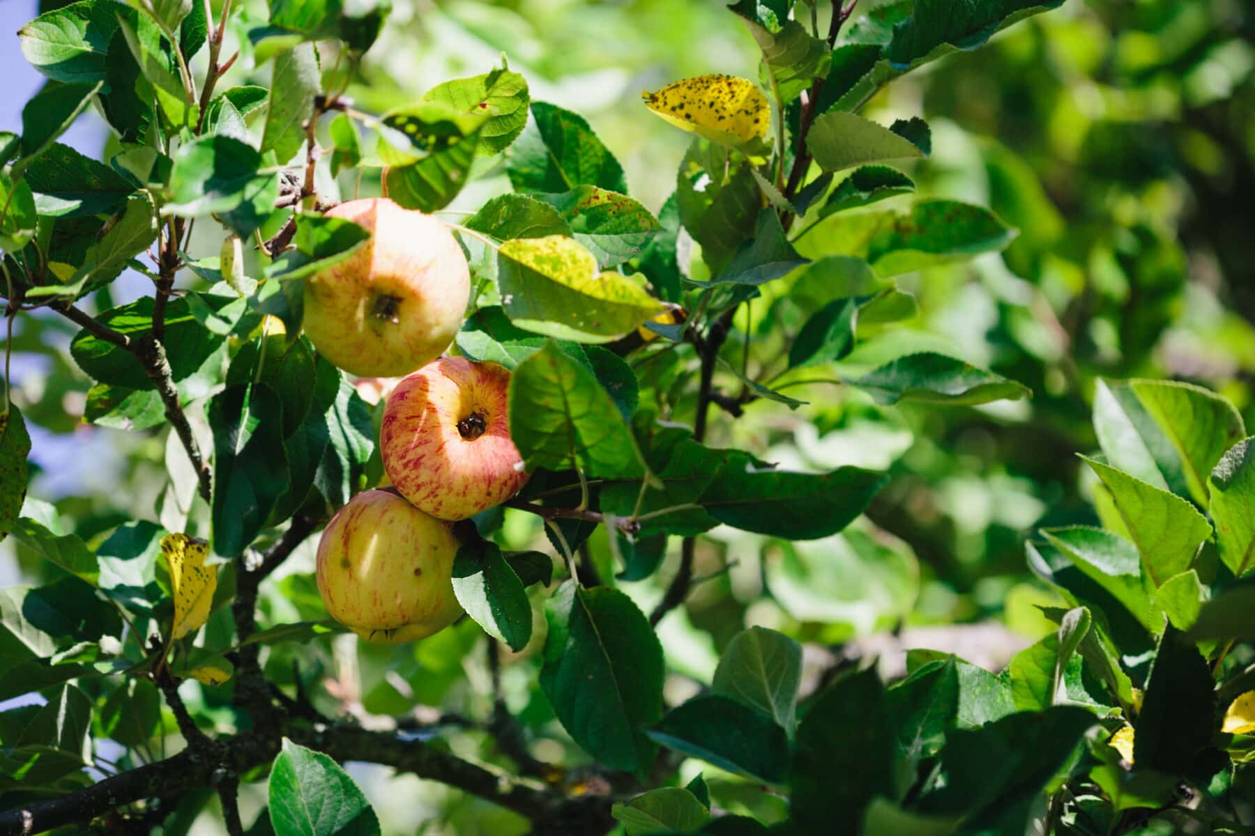 apple tree, apples, orchard, agriculture, tree, fruit, food, nature, leaf, quince