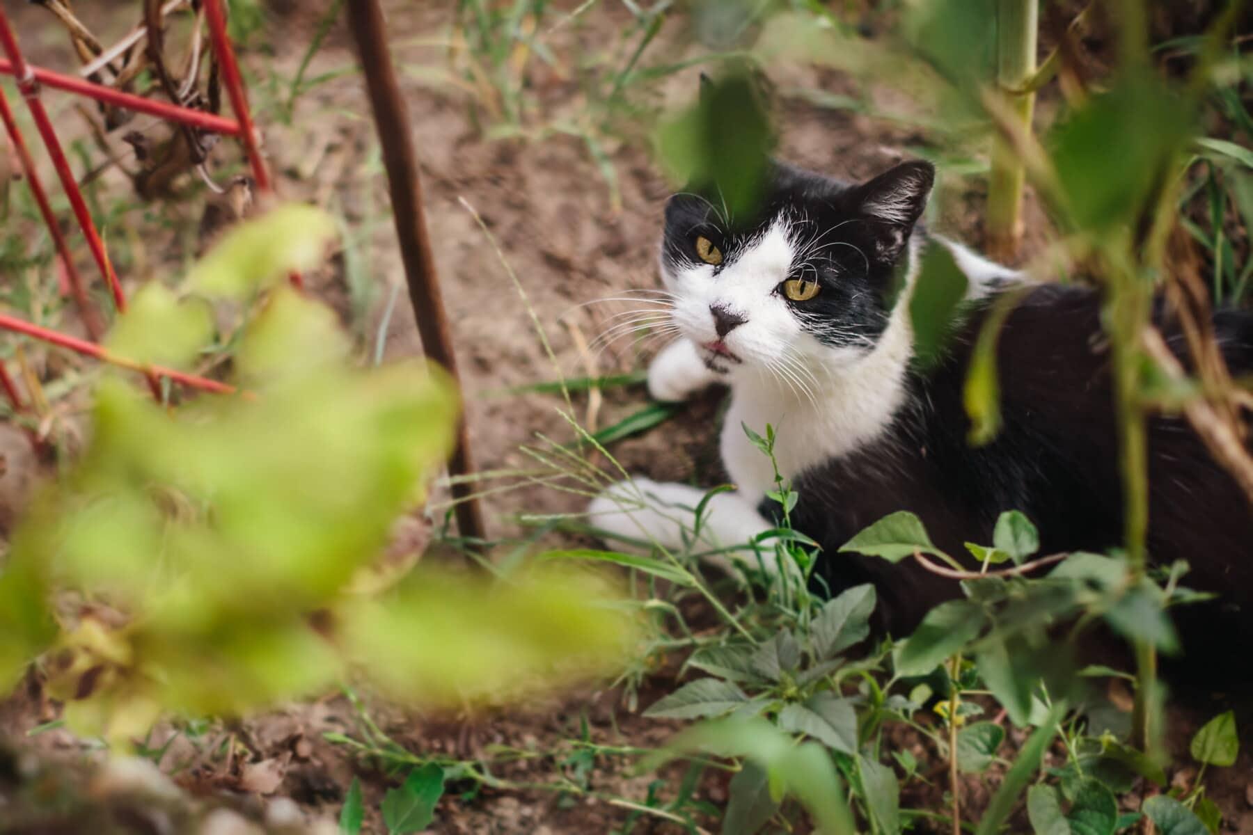 katze, Hauskatze, schwarz und weiß, ausblenden, Garten, niedlich, Augen, inländische, Haustier, Kätzchen