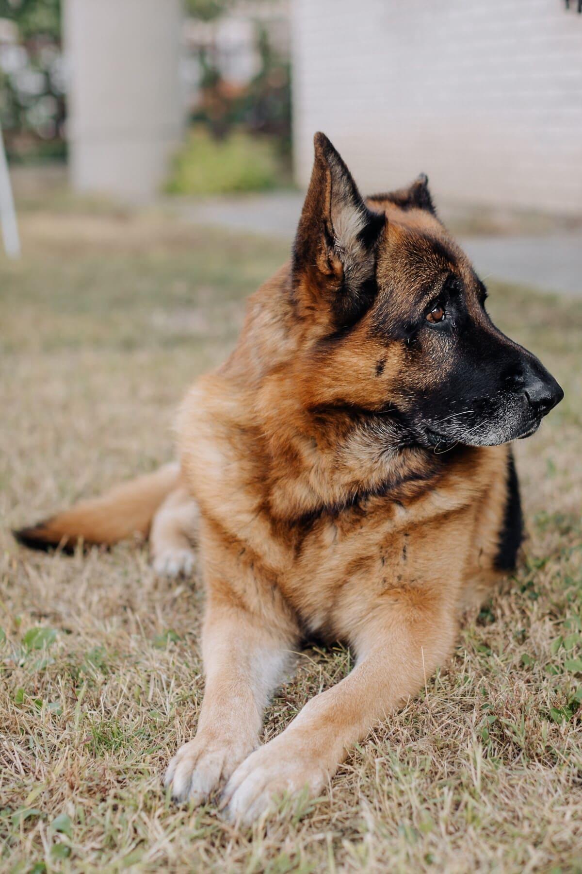 german, shepherd dog, portrait, muzzle, laying, head, pet, dog, cute, animal