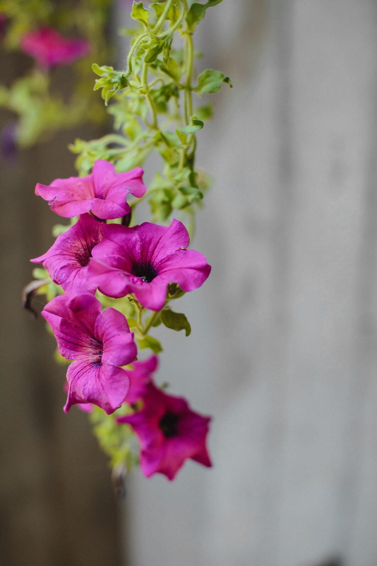 rosâtre, violet, fleurs, flore, fleur, été, feuille, plante, rose, nature