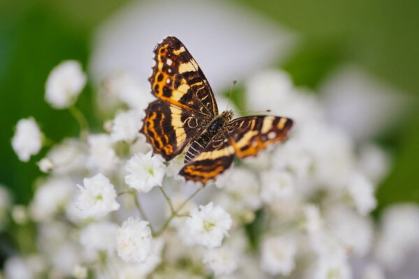 close-up, butterfly, light brown, wings, insect, animal, plant, summer, herb, flower