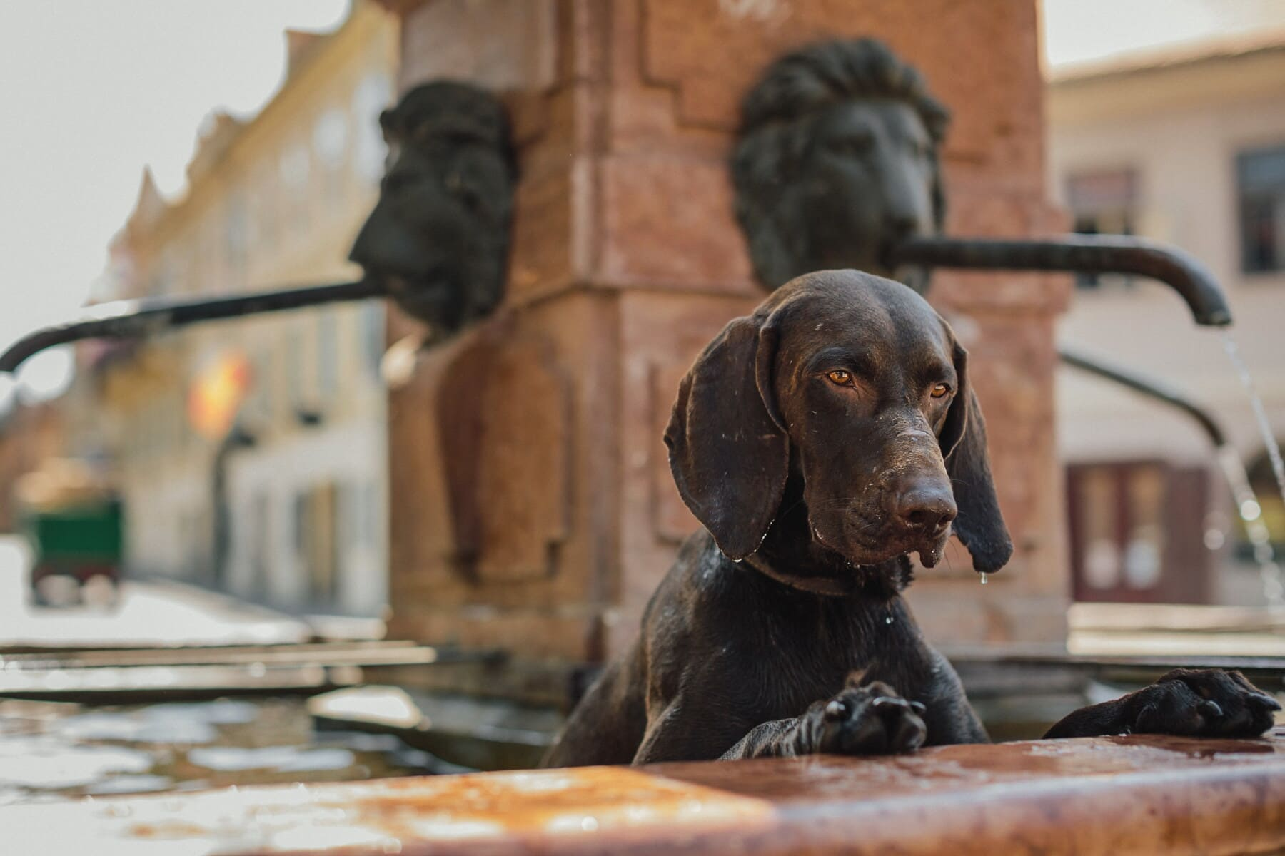 hunting dog, bathing, fountain, close-up, downtown, animal, street, canine, hound, pet