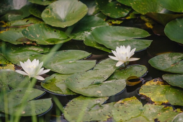 white flower, water lily, green leaves, waterlily, lotus, aquatic, pool, plant, flower, blossom