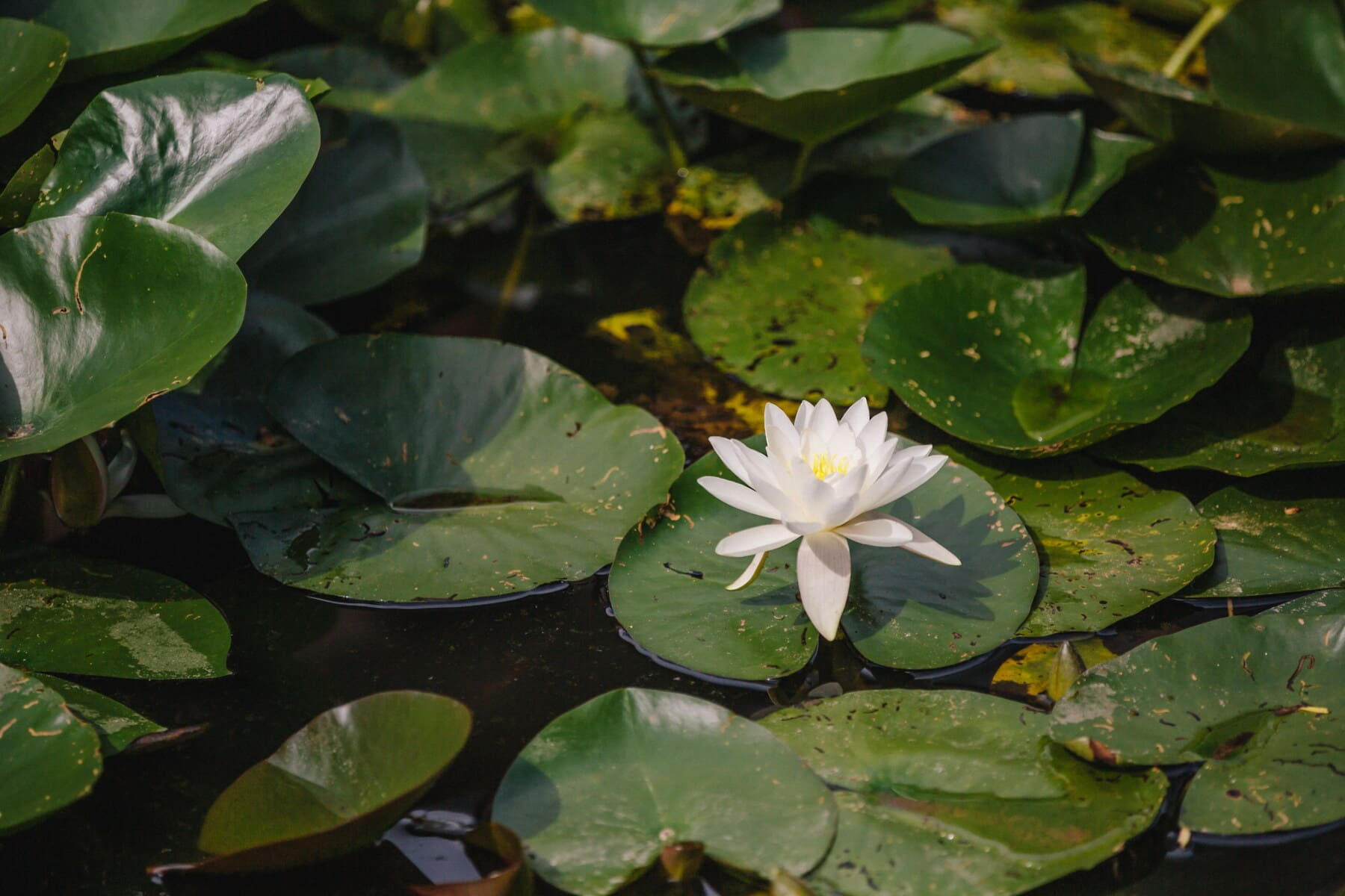 lotus, white flower, water lily, garden, nature, flower, pool, leaf, blossom, plant