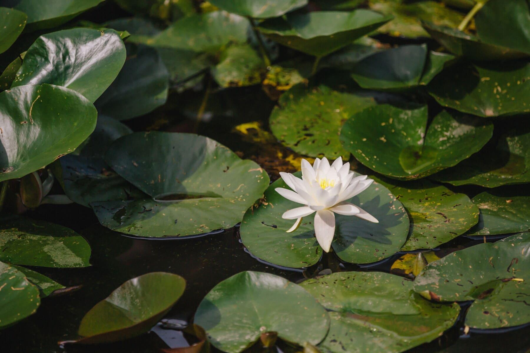 Lotus, fleur blanche, lis d'eau, jardin, nature, fleur, piscine, feuille, fleur, plante
